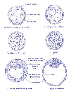 Stages of embryo development until the blastocyst stage
